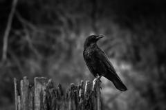 corvus_pole_2